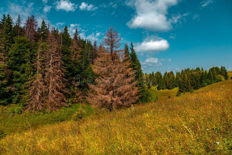 La tragedia del bosque - los abetos de sequía en el paisaje montañoso y arbolado fotografía de archivo