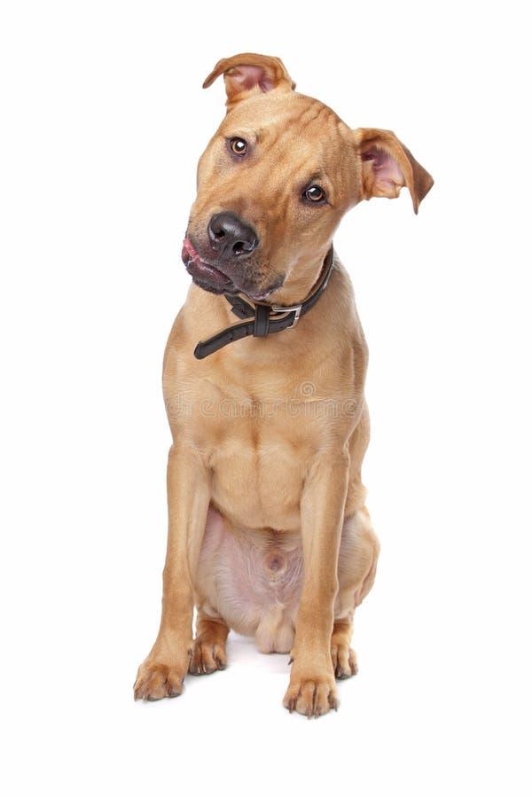 La traversa ha allevato il cane fotografia stock libera da diritti