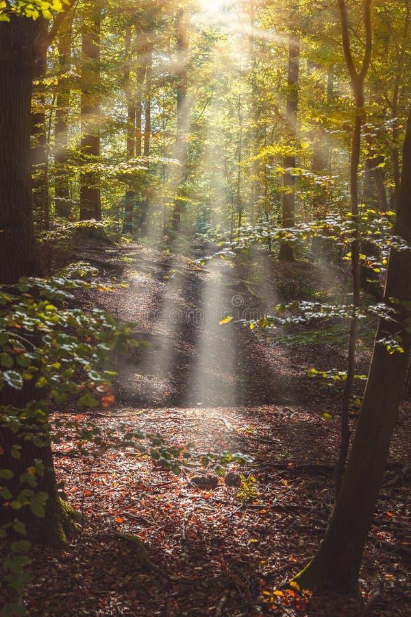 La trayectoria de bosque con los rayos del sol que vienen a través del árbol se va foto de archivo libre de regalías