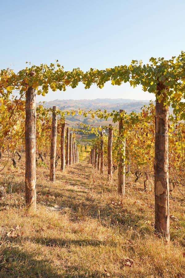 La trayectoria en viñedo en otoño con amarillo se va en un día soleado imagen de archivo libre de regalías