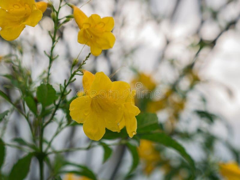 La Trompeta-flor amarilla que florece en The Field imagenes de archivo