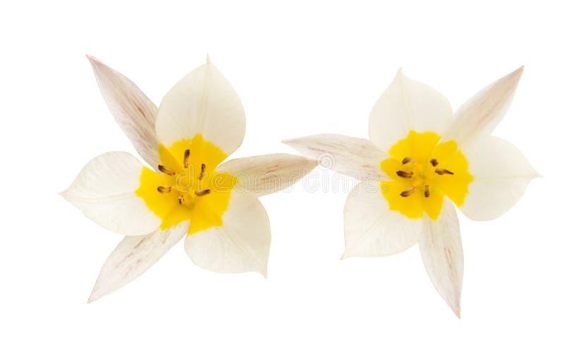 La tulipe de deux couleurs a isol? images libres de droits