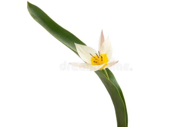 La tulipe de deux couleurs a isol? photo libre de droits