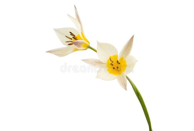 La tulipe de deux couleurs a isol? photographie stock
