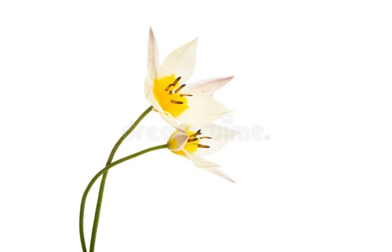 La tulipe de deux couleurs a isol? photos stock