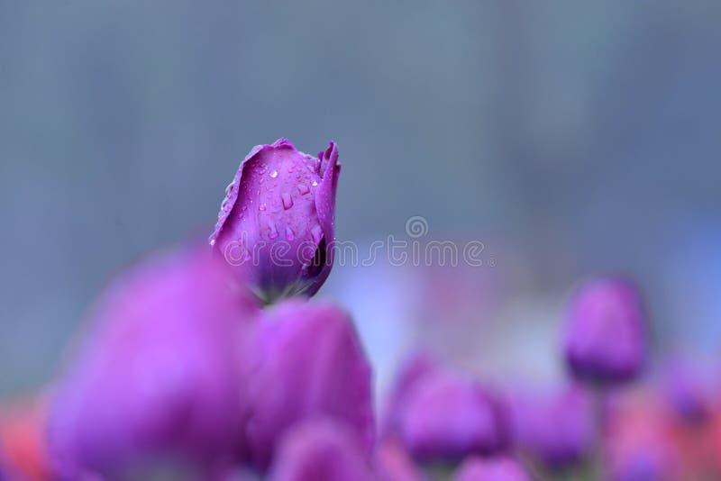 La tulipe fleurit la fleur au printemps images stock