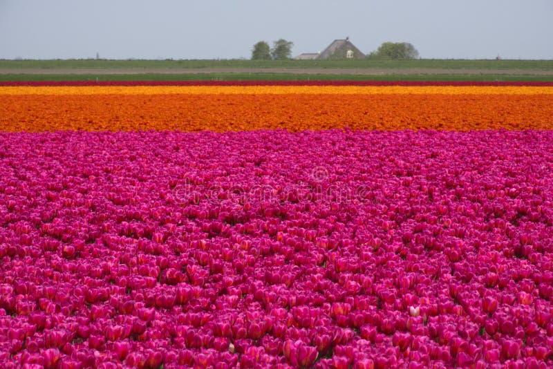 La tulipe met en place l'illustration photos libres de droits