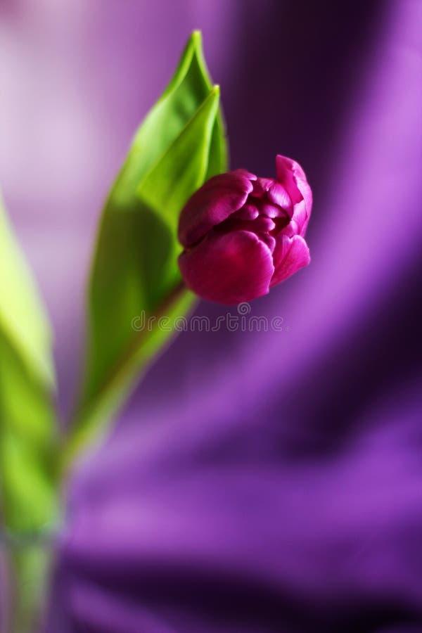 La tulipe pourpre simple, se ferment, foyer sélectif, fond pourpre, l'espace d'exemplaire gratuit photo stock