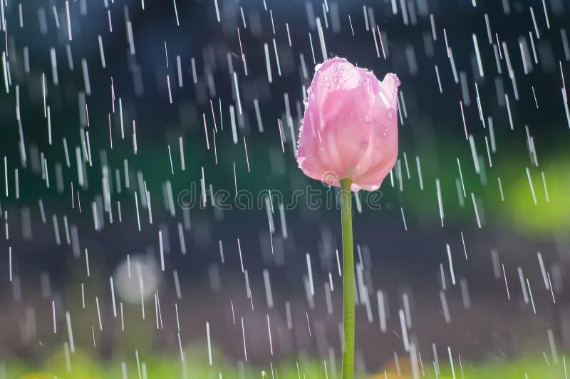 La tulipe rose-clair sur le fond de la pluie laisse tomber des voies photos stock