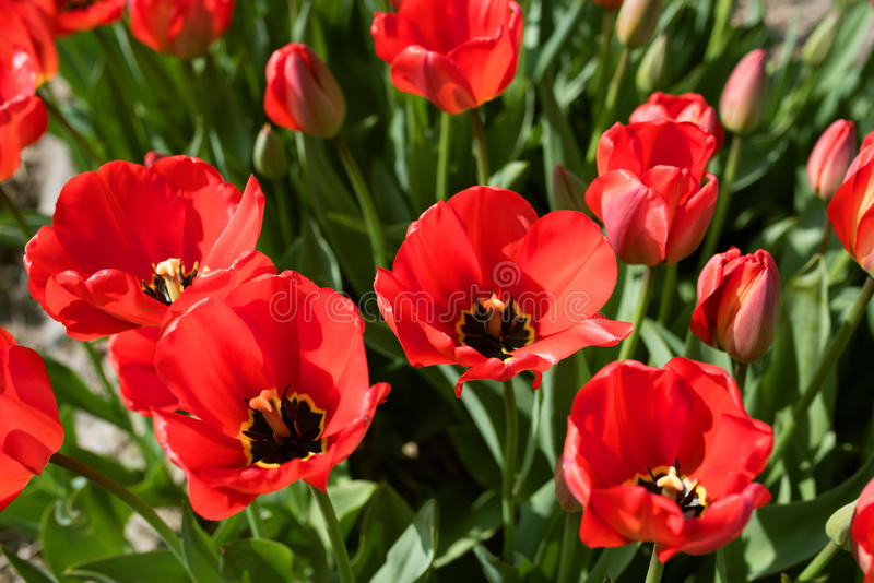 La tulipe rouge fleurit au printemps photos stock