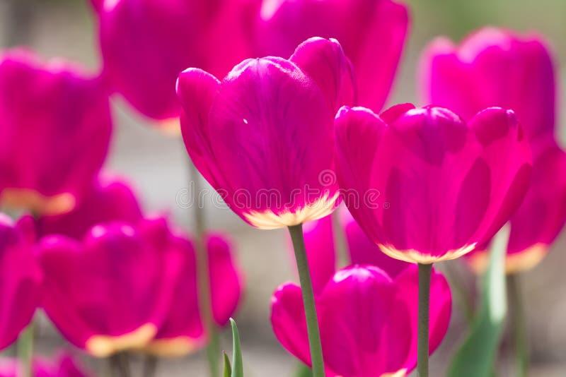 La tulipe violette fleurit le fond de ressort image libre de droits