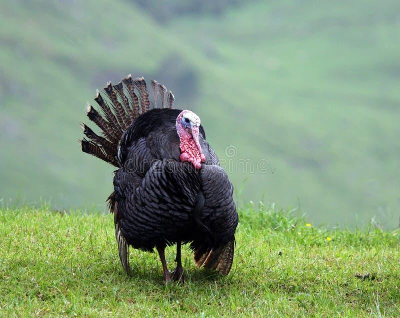 La Turchia selvaggia immagine stock