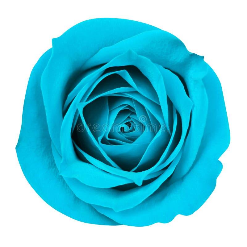 Download La turquesa Rose aisló foto de archivo. Imagen de primer - 41917690