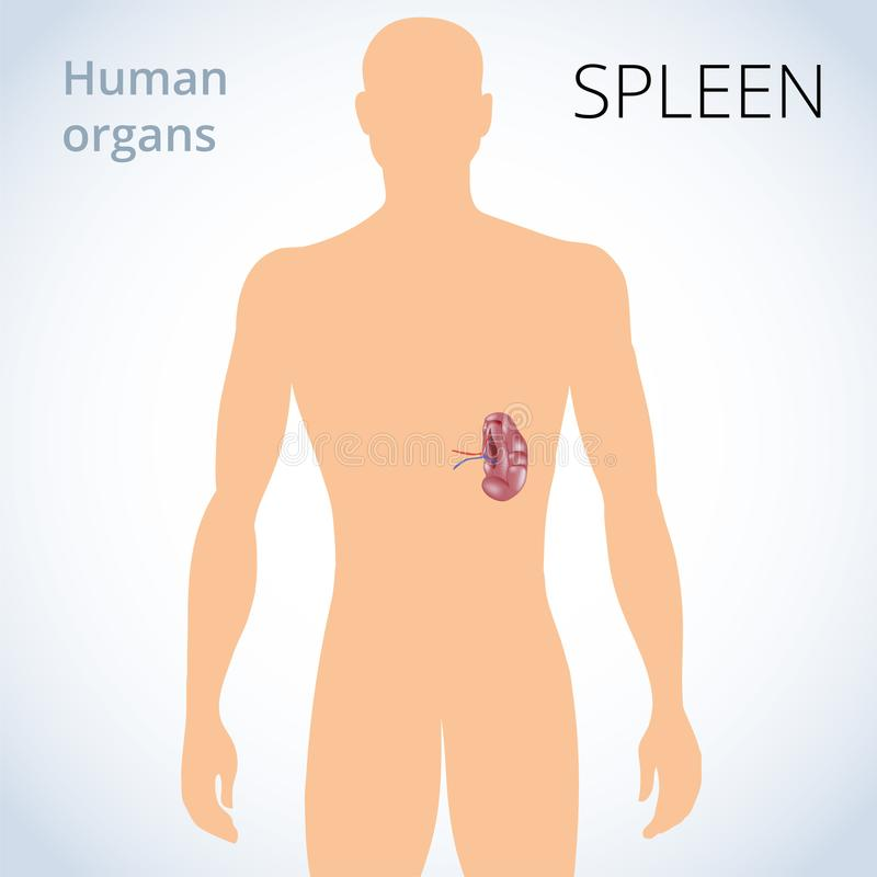 La Ubicación Del Bazo En El Cuerpo, El Sistema Digestivo Humano ...