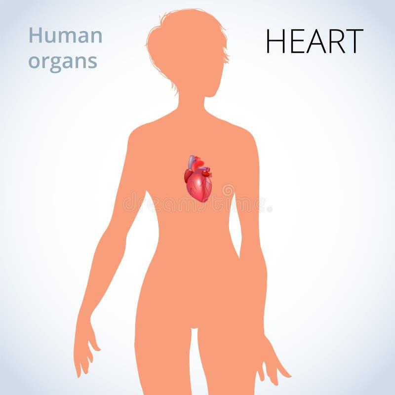 La Ubicación Del Corazón En El Cuerpo Femenino, El Sistema ...