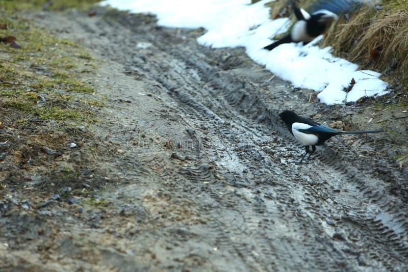 La urraca es un pequeño pájaro con color blanco y negro imagen de archivo libre de regalías