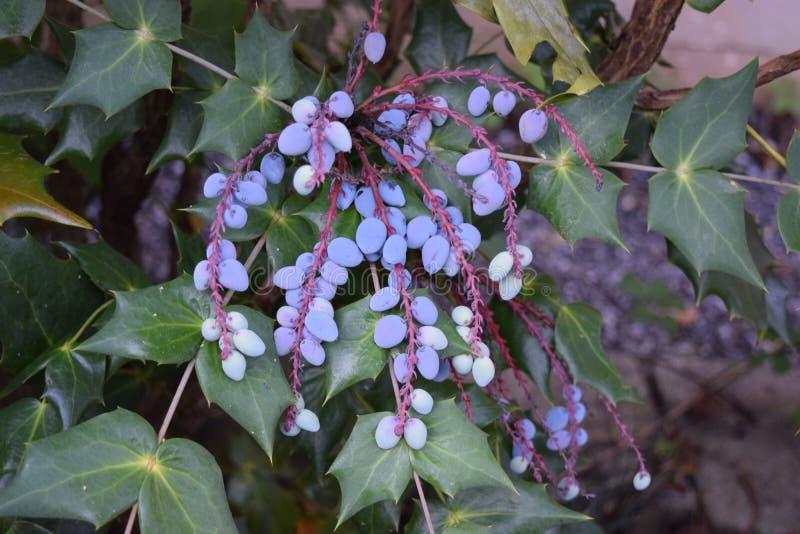 La uva púrpura le gusta manojos imagen de archivo