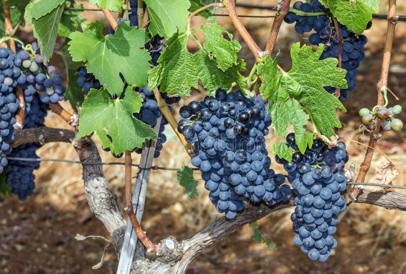 La uva se agrupa, produciendo las uvas rojas de la vid, viñedo imagenes de archivo