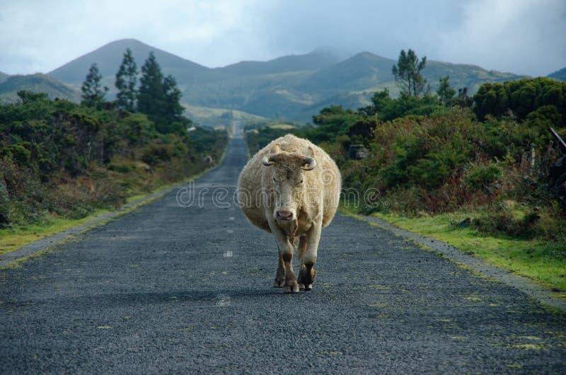 La vaca con los cuernos está buscando la confrontación imagen de archivo