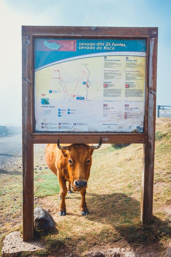 La vaca de Brown en la entrada al rastro a los fontes de Levada das 25 y Levada hacen Risco, Madeira Isla imagenes de archivo