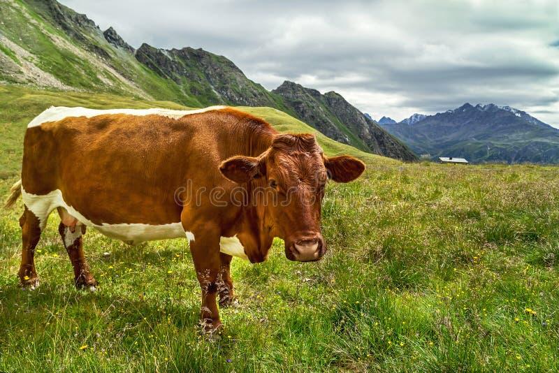 La vaca de Brown está en pastos verdes frescos de la montaña en el prado alpino en el día de verano fotografía de archivo libre de regalías