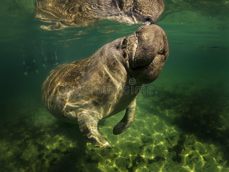 La vaca de mar o el manatee o la nadada del dugong en agua dulce cristalina con las nubes en fondo superior y hacen la respiració imagen de archivo