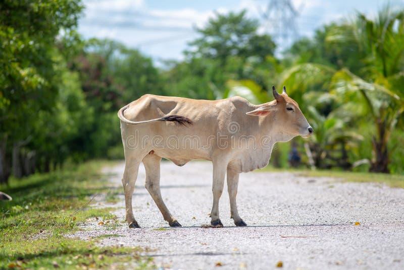 La vaca está en el camino en Tailandia rural imagenes de archivo
