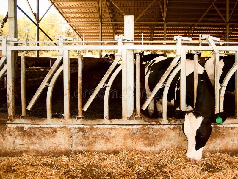 La vaca lechera come la paja foto de archivo