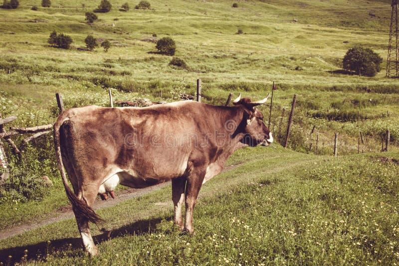 La vaca lechera de Brown goza de la hierba verde del verano Animal del campo Paisaje rural Cultivo de concepto Prado georgiano ge imágenes de archivo libres de regalías