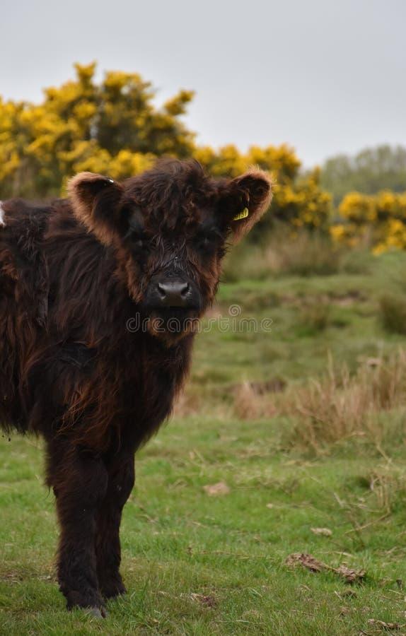 La vaca linda misma de Oreo del bebé en amarra fotos de archivo libres de regalías