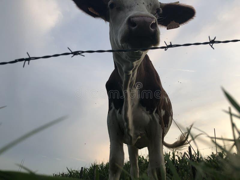 La vaca Montbeliarde es una raza de vacuno lechero rojo, standi fotos de archivo