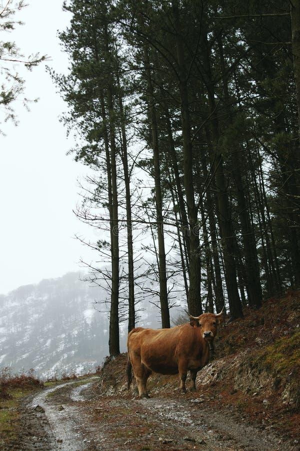 La vaca que come la hierba en la montaña fotografía de archivo libre de regalías