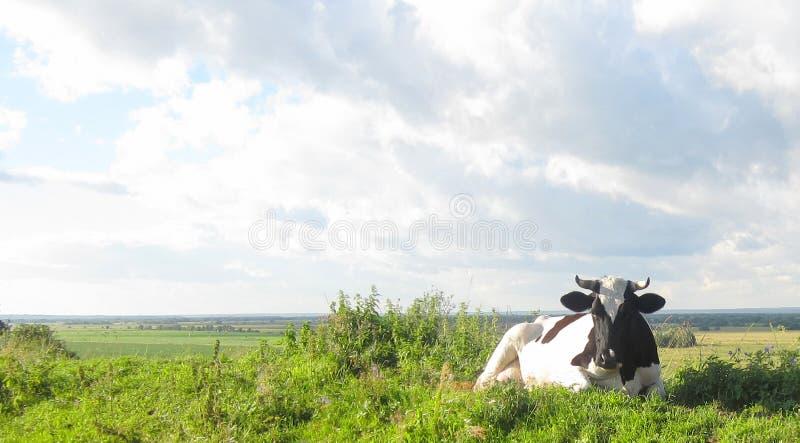 La vaca que da la leche del pasto en prado en la granja foto de archivo