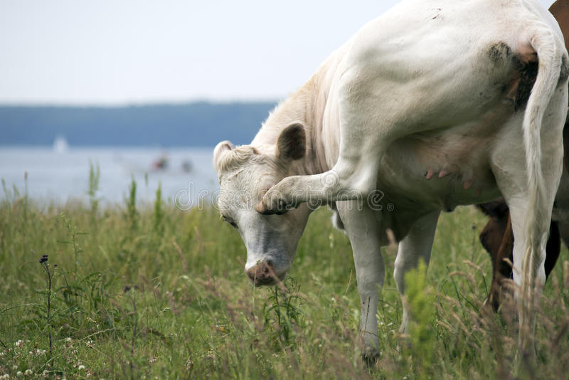 La vaca quita moscas foto de archivo libre de regalías