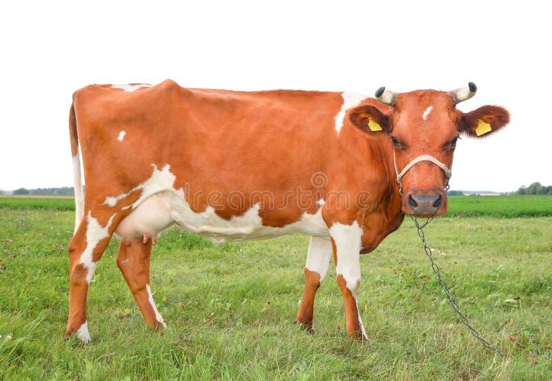 La vaca roja y blanca manchada muy divertida se coloca en tres piernas y ceños fruncidos Vaca aislada en el fondo blanco fotos de archivo