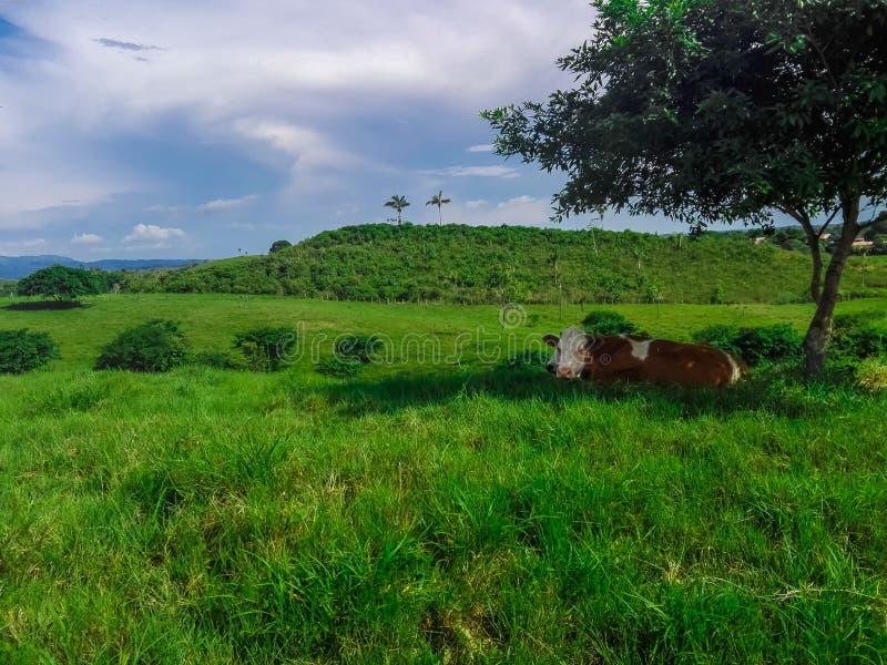 La vaca se relaja fotografía de archivo