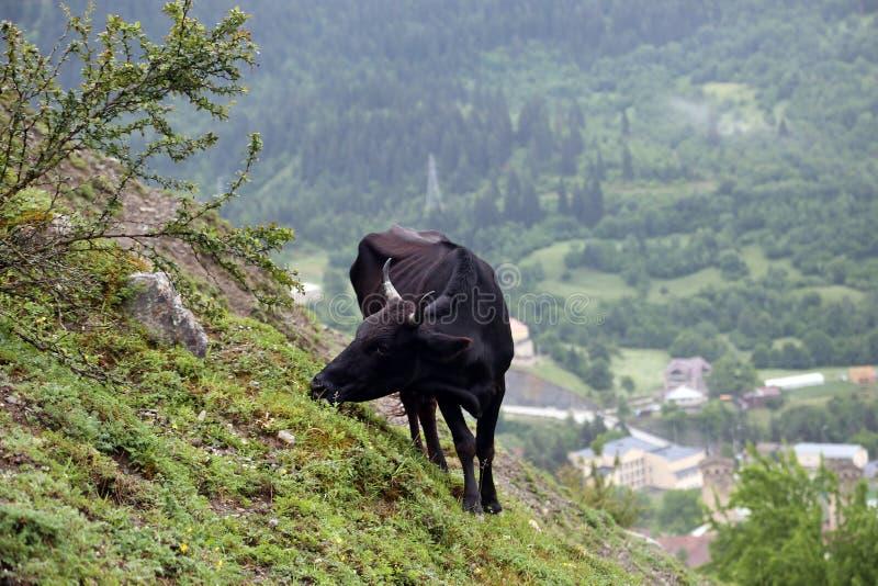 La vache à ? frôle sur une pente de montagne dans un brouillard photos stock