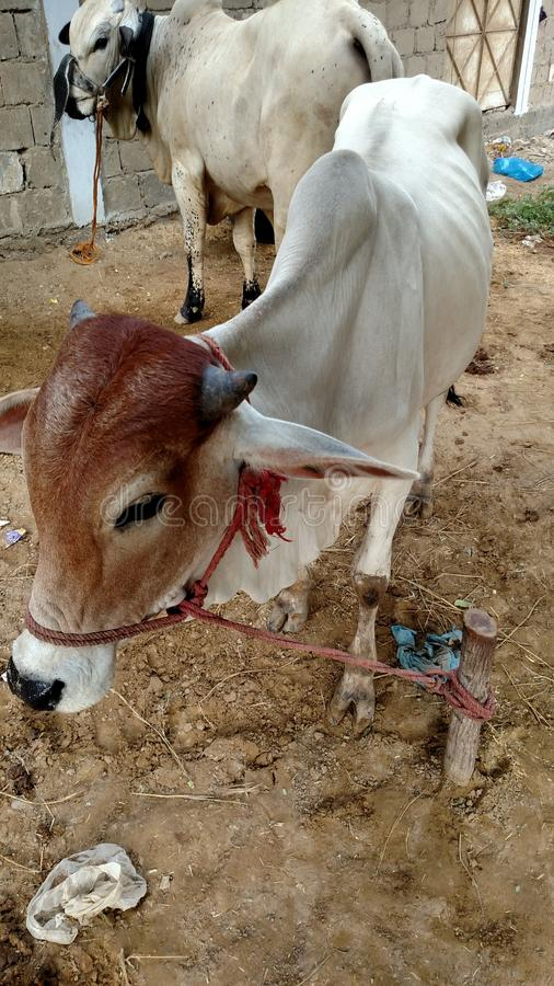 La vache photo stock
