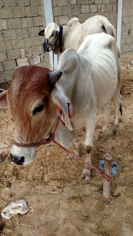 La vache image stock