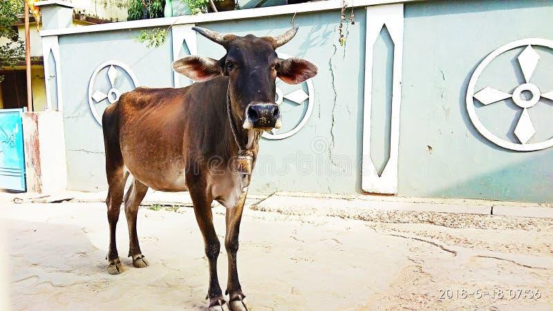 La vache images stock
