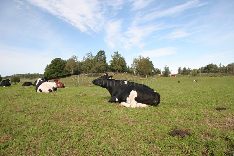 La vache images libres de droits