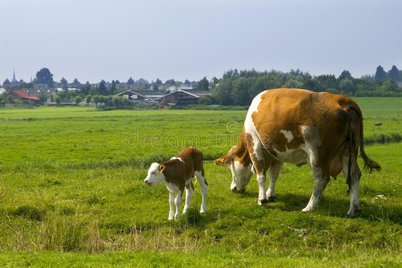 La vache avec mettent bas photographie stock libre de droits