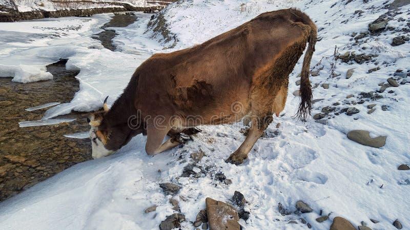 La vache boit l'eau images libres de droits