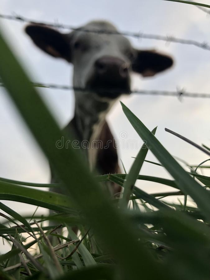 La vache de Montbéliarde est une race de vaches laitières de pied rouge image stock
