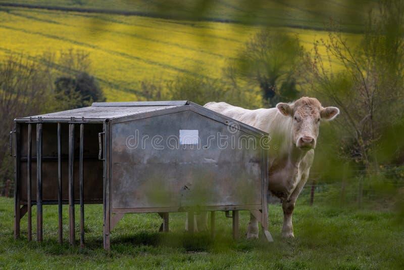 La vache du charolais essayent de se cacher de la caméra photo libre de droits
