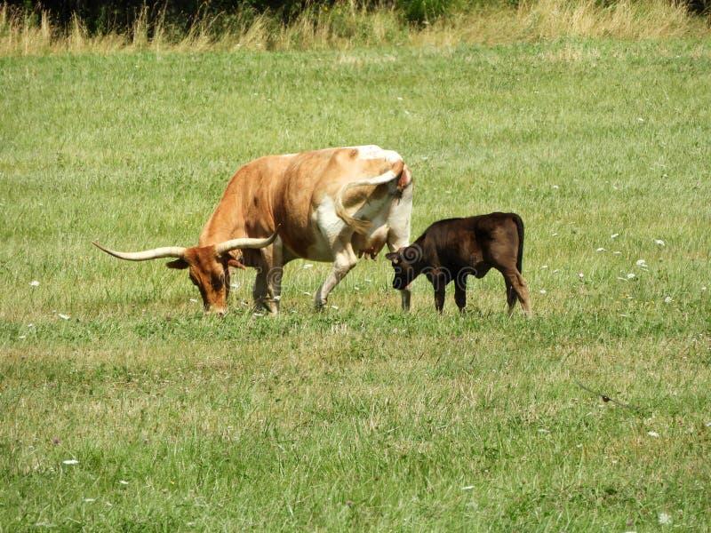 La vache et le veau à longhorn du Texas frôlent en été dans FingerLakes image libre de droits