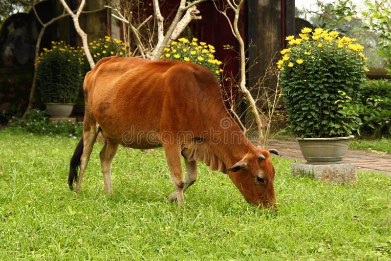 La vache frôle sur une herbe sur un fond des fleurs jaunes photo stock