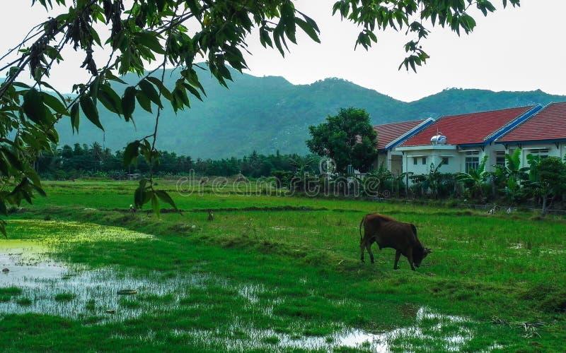 La vache frôlent le lac photos stock