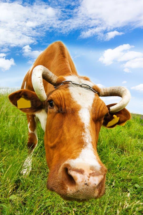 La vache mange l'herbe image libre de droits