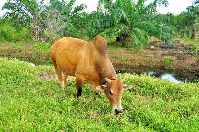 La vache mange l'herbe sur un champ photo stock